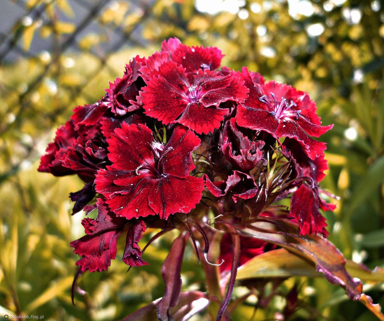Czerwony kwiatek
