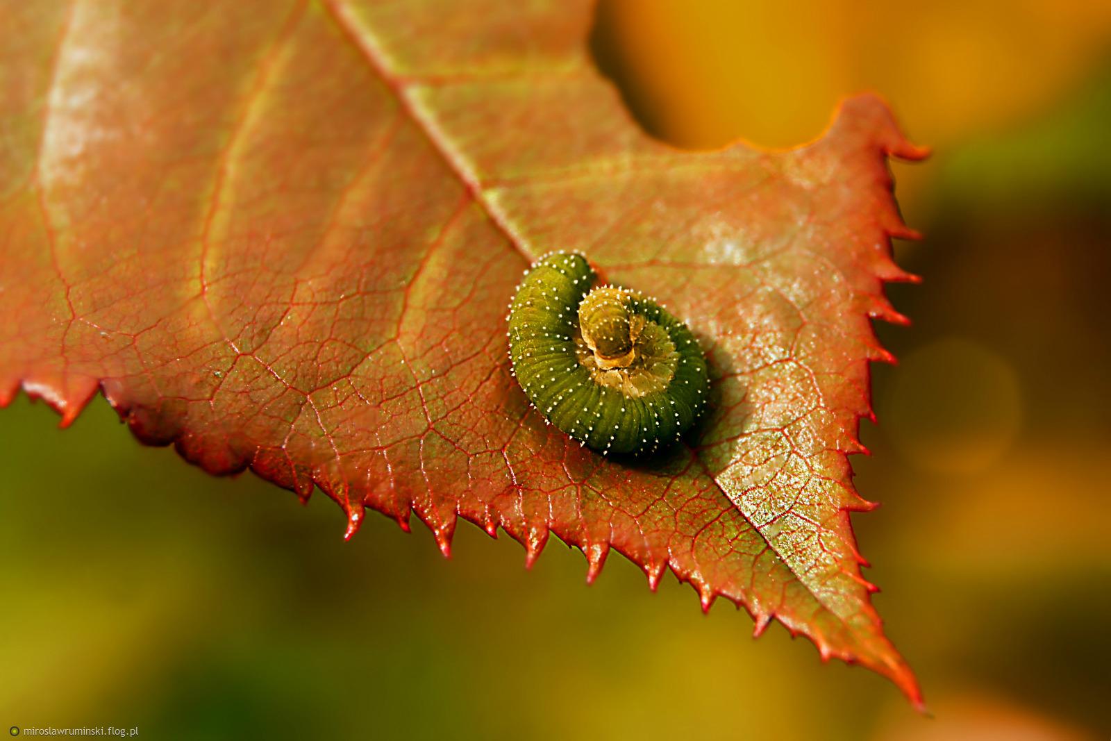 gąsienica psowacza różanego  2