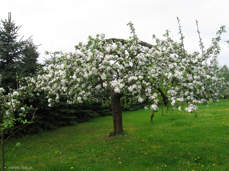 Jabłoneczka w wiosennej sukience...