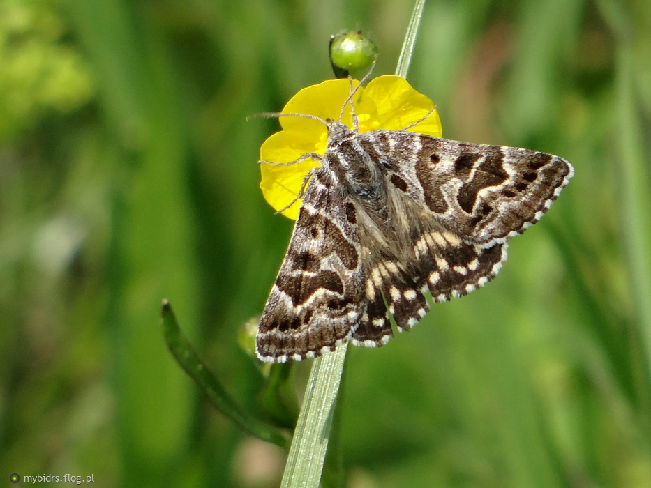 ??? -czy ktoś wie jaki to motyl? na pewno ćma..ale jaka?