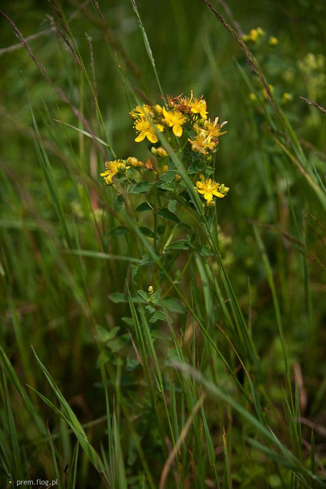 Dziurawiec (Hypericum L.)