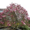 magnolia :: Szwajcaria 2013
