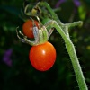 Pomidorek :: Pomidorek