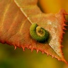 gąsienica psowacza różan<br />ego  2 ::