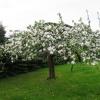 Jabłoneczka w wiosennej s<br />ukience... ::
