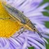 Kulczanka kosaćcówka (Lix<br />us iridis). :: Strachliwy ryjkowiec. Ast<br />ry kwitną już w ogródku, <br />wcale to nie pora smutku,<br /> to przyroda zmienia s