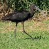 Glossy ibis :: Ja nazywam je ibisami czekoladowymi,sa duzo mniejsze od bialych.
