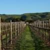 W zimowych winnicach