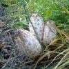 smacznego!! :: szmaciak pospolity, parasolnik, smaczne młode grzybki.