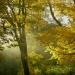 Złote drzewa.