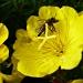 Obserwująca pszczółka :: Obserwująca pszczółka
