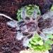 Grammostola rosea :: Grammostola rosea