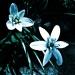 Mroźne kwiaty :: Mroźne kwiaty