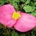 Różowo-żółty kwiat :: Różowo-żółty kwiat